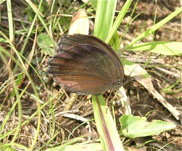 Minois dryas SCOPOLI, 1763, mâle. Extrémité sud de la péninsule de Gamova, 29 juillet 2010. Photo : J. MIchel