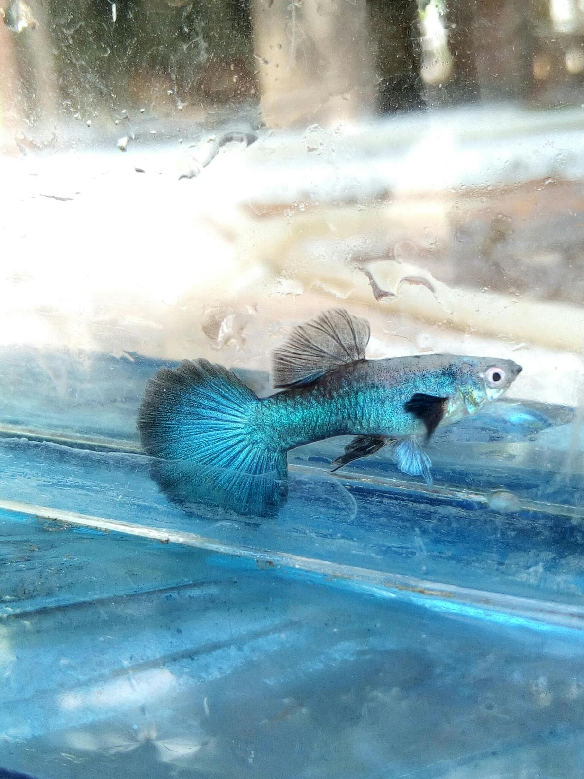 Closed Auction Fwguppies1541475612 1 Pair Asian 101 Ikan Hias Air Or Refund Excluding Shipping Cost But Clear Photos With Unopened Bag Of The Death Fish Must Be Attached Back Within 24 Hours After Arrival
