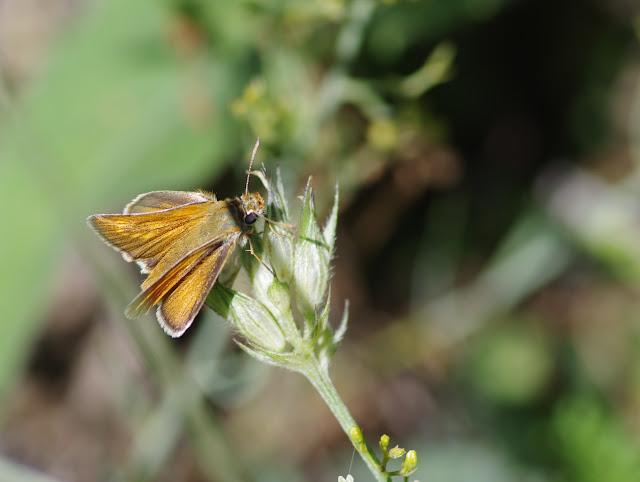 Ochlodes sylvanus (Esper, 1777), ♀. Les Hautes-Courennes (500 m), Saint-Martin-de-Castillon (Vaucluse), 17 juin 2015. Photo : J.-M. Gayman