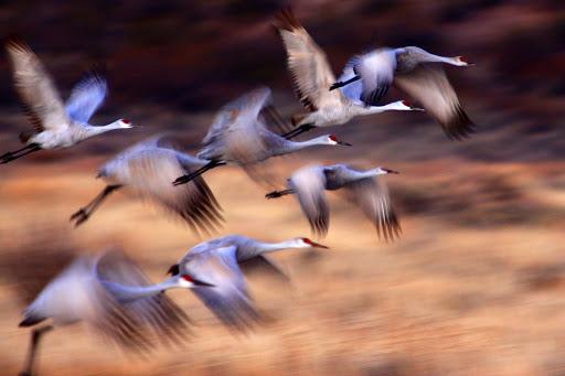 Sandhill cranes create a blur in motion. Bosque del Apache National Wildlife Refuge. Photo by Marvin de Jonge