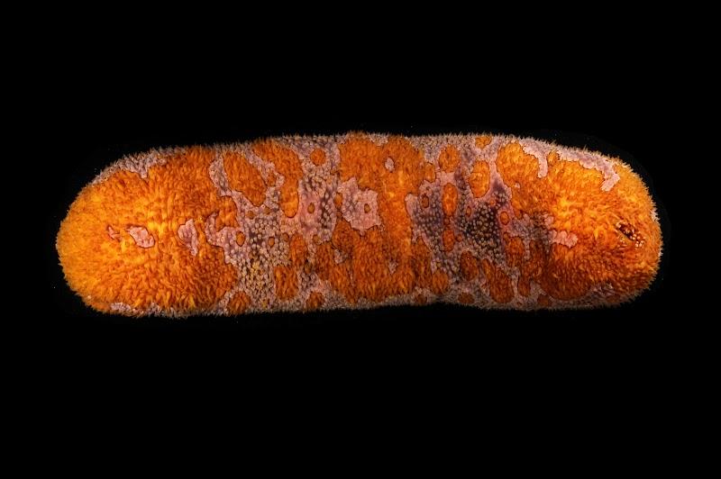 Bohadschia sp. Lizard Island, Australia.