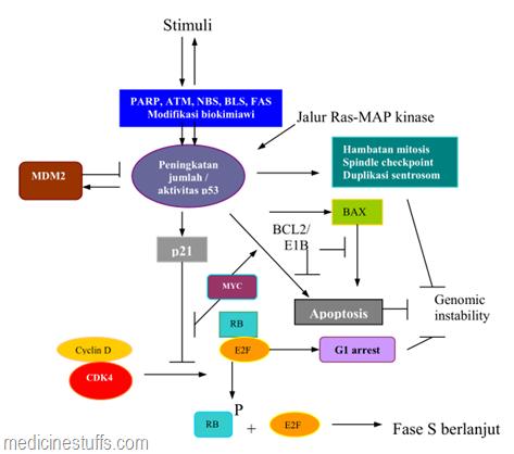 komponen-jalur-sinyal-p53