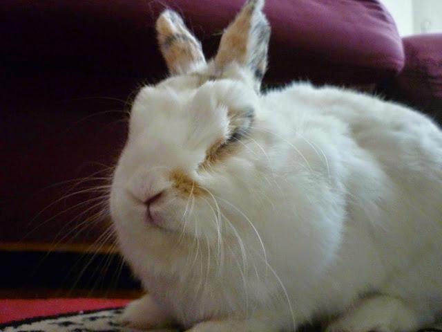 Mirana, lapine blanche-[adoptée] Mirana26