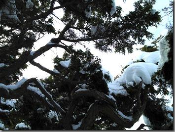 Cold and stunted hemlock near Flattop mountain
