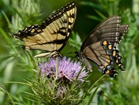 Tiger Swallowtail (Yellow male on left and dark female on right)  nectoring on Thistle