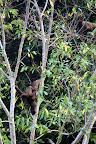 Wooly Monkeys in Reserve Zone (Manu National Park, Peru)