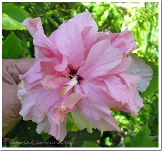 08-29-pink-dbl-hibiscus2