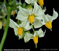 Solanum tuberosum flowers - Psianka ziemniak, kartofel kwiaty