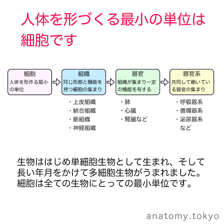 t111-01-人体を形づくる最小の単位は細胞です.png