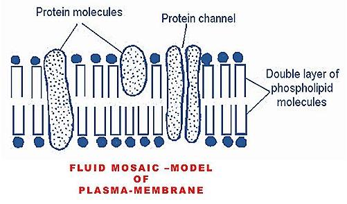 fluid-mosaic-plasma-mambrane-cell mambrane (6)