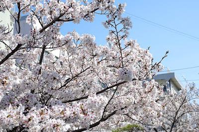バンカ野田店:近隣小学校の桜