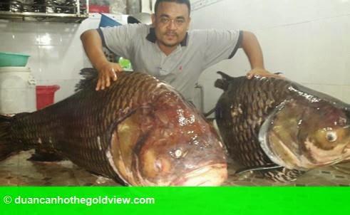 Hình 1: Cặp cá hô khủng 252 kg tiền tỉ từ Lào về Việt Nam