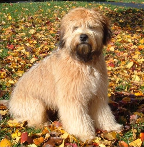 soft coated wheaten terrier shedding soft coated wheaten terrier grooming procedures 8066