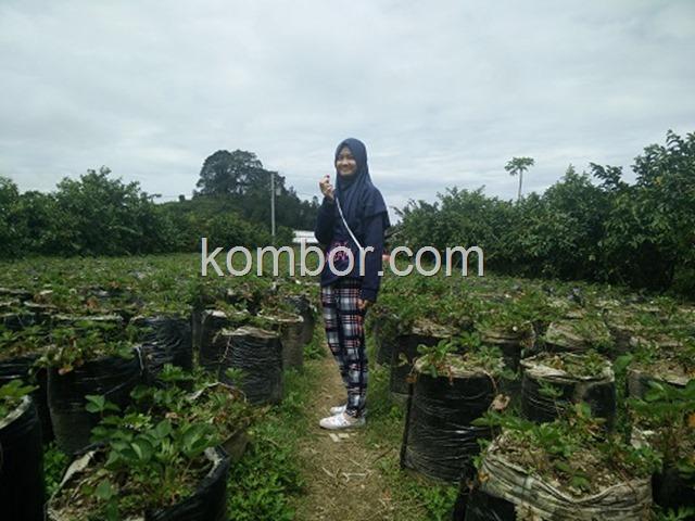 wisata petik sendiri strawberry banyuroto magelang