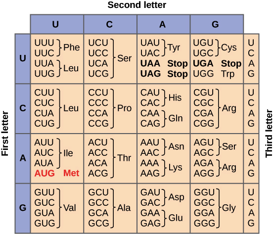 Which Letter Refers To An Mrna Molecule