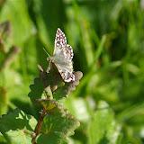 Hesperiidae. Hautes-Lisières (Rouvres, 28), 21 avril 2011. Photo : J.-M. Gayman