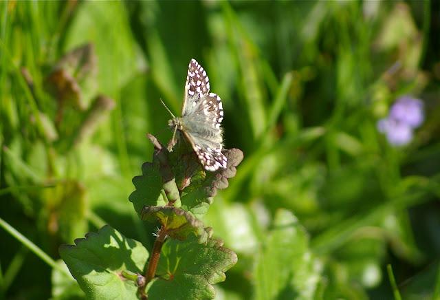 Pyrgus malvae (Linnaeus, 1758). Hautes-Lisières (Rouvres, 28), 21 avril 2011. Photo : J.-M. Gayman