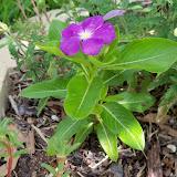 Gardening 2010, Part Three - 101_5049.JPG
