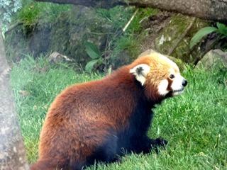 2016.07.31-030 panda roux