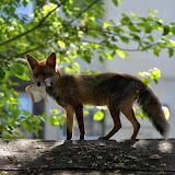 Портреты лисы