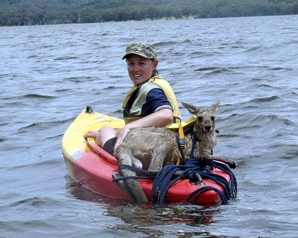 Les inondations au Queensland : sauvetage de kangourou