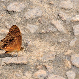 Phalantha eurytis (DOUBLEDAY, 1847). Ebogo (Cameroun), 25 avril 2013. Photo : Daniel Milan