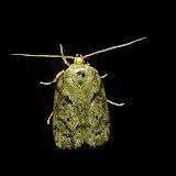 Tortricidae : Tortricinae : Thrincophora signigerana WALKER, 1863 (?). Umina Beach (N. S. W., Australie), 28 novembre 2011. Photo : Barbara Kedzierski