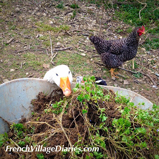 French Village Diaries #HowDoesYourGardenGrow potager weeding seeds goose