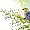 Canário-rasteiro (Stripe-tailed Yellow-Finch)