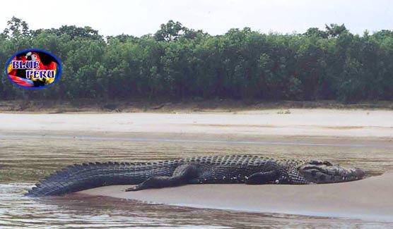 Questões e Fatos sobre Crocodilianos gigantes: Transferência de debate da comunidade Conflitos Selvagens.  - Página 3 Black-caiman-w