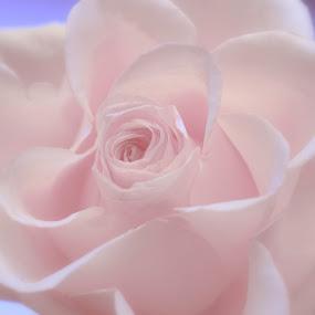 Soft pink by Karen Buttery - Flowers Single Flower ( rose, petals, blue, flower pink )