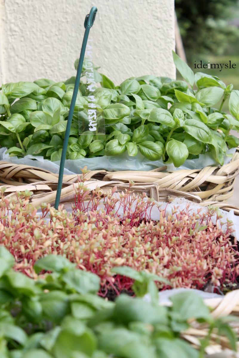 portulaka warzywna, bazylia, kiełki portulaki