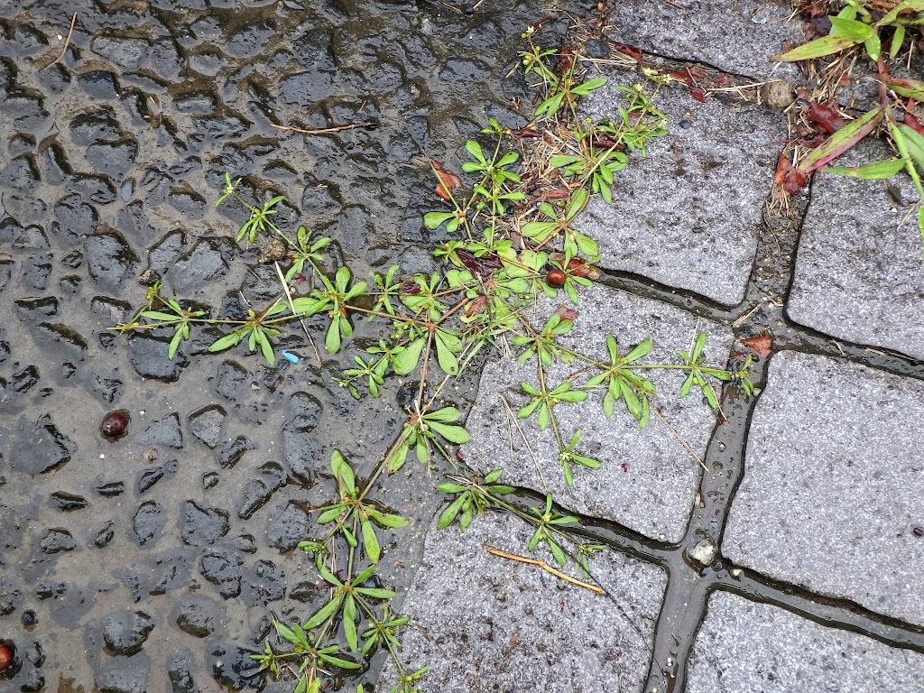 クルマバザクロソウの草姿
