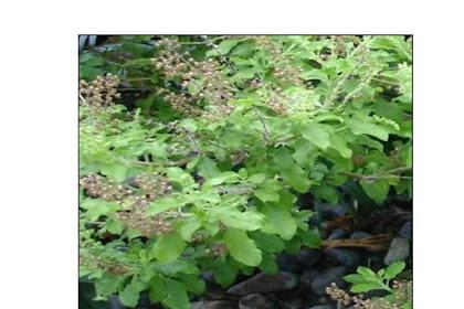 9 jenis pokok ni boleh bantu halau nyamuk!