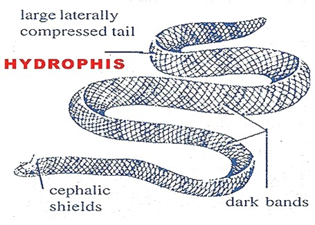 SEASNAKES-hydrophis