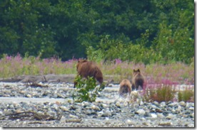 Mama Bear and two Baby Bears on Klehini River