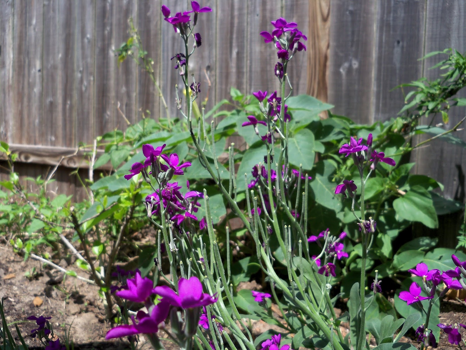 Gardening 2013 - 115_5705.JPG