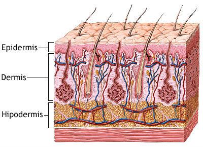 Qué es la dermis