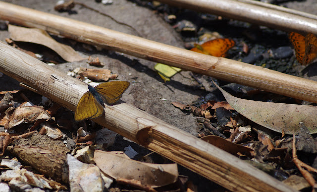 Sevenia amulia CRAMER, 1777. Ebogo (Cameroun), 8 avril 2012. Photo : J.-M. Gayman