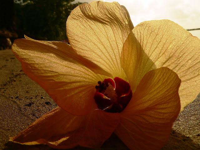 hibiscusss - floare de pus după ureche