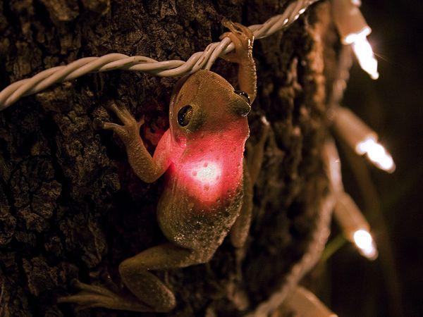 https://lh3.googleusercontent.com/-BNIW2UIHm5U/TtyVwj7y7gI/AAAAAAAAAlo/I-3031R0Oqo/s600/cuban-tree-frog_3627_600x450.jpg
