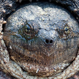 snapping-turtle_MG_5756-copy.jpg