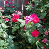 Gardening 2011 - 100_9338.JPG