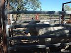 Kuh in der Warteschlange zu piercen