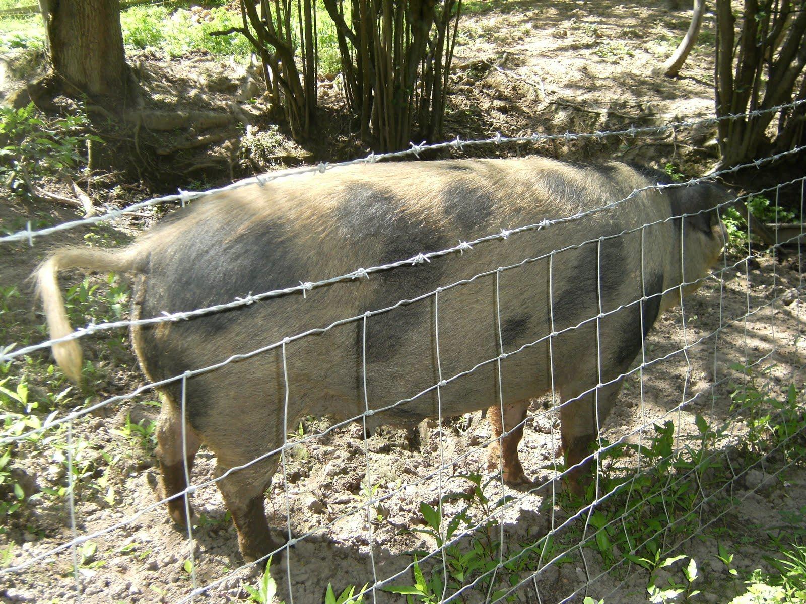 1006160023 Farmyard pig, Trugger's Farm