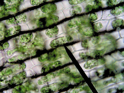 Lab: Diffusion and Osmosis in Elodea Cells