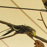 Birds of the Outback - img_1450a.jpg