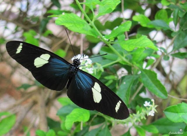 Heliconius sara apseudes (HÜBNER, [1813]). Colider (Mato Grosso, Brésil), 27 novembre 2011. Photo : Cidinha Rissi