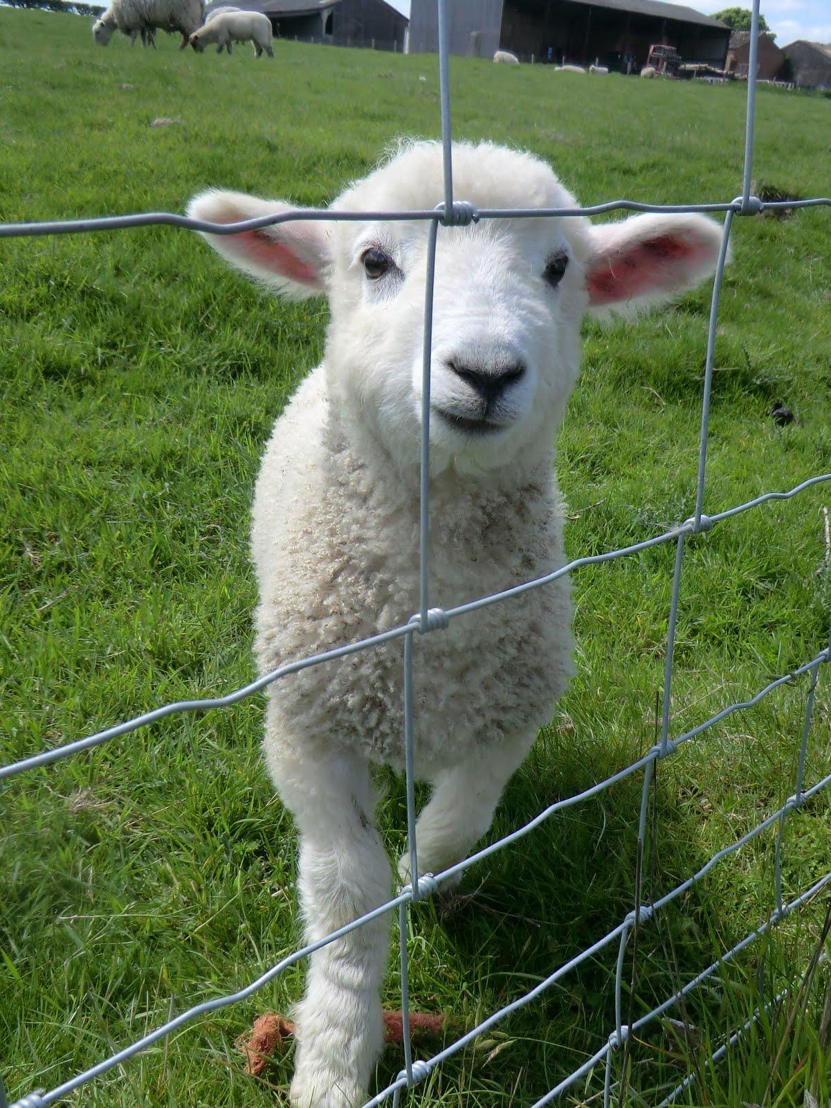 CIMG8148 Inquisitive lamb at Botley Hill Farm