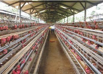 Cara Ternak Ayam Petelur dengan Benar dan Lengkap - Fula ...
